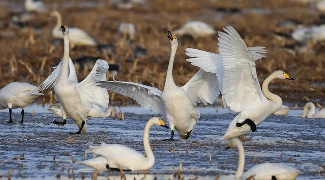 黃河濕地迎候鳥