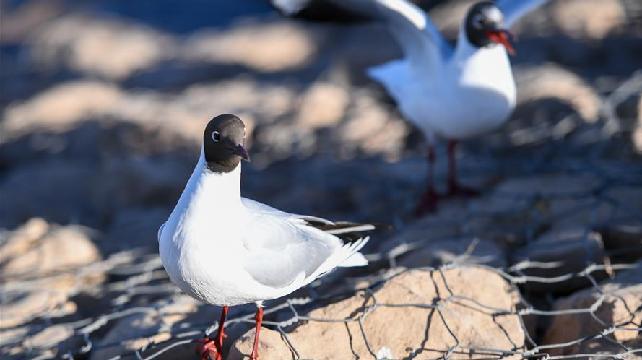 烏海湖迎來大批紅嘴鷗