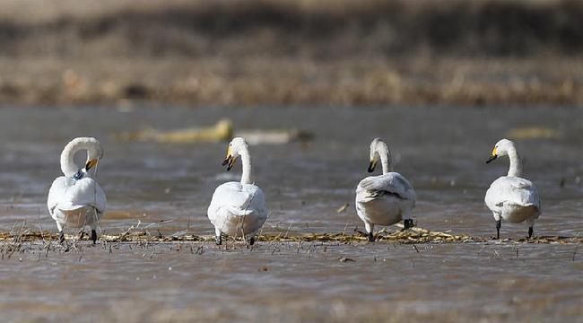 黃河淺灘迎候鳥