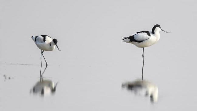 內蒙古:濕地迎來大批候鳥