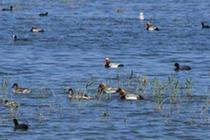 千鳴百囀 大批候鳥翔集烏梁素海